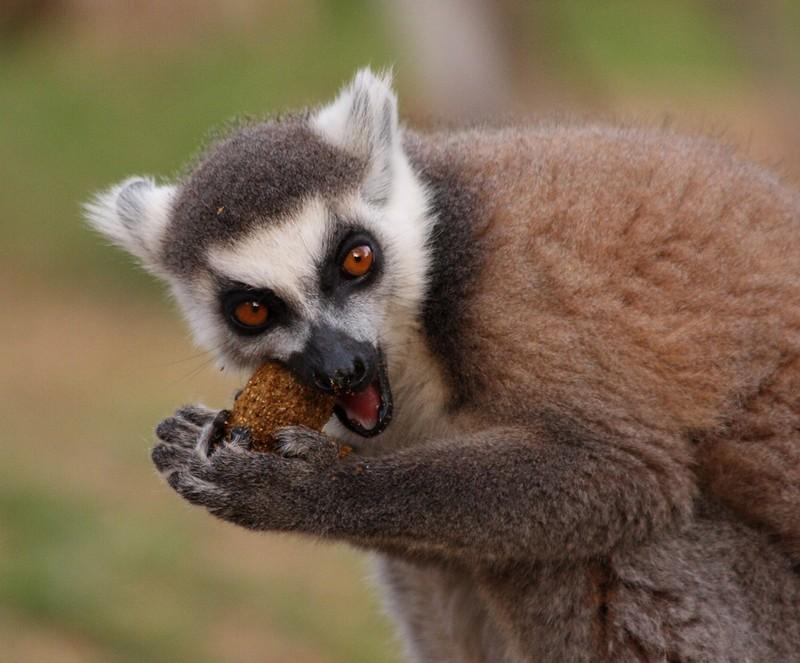 lemur kaffe